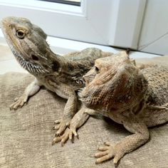Is a bearded dragon a good pet to get?