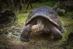 Kim Andelkovic Photography - Giant Tortoise - Galapagos Islands