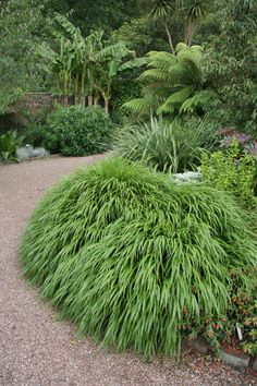 Hakonechloa macra...japanese forest grass,  so beautiful, looks like a green waterfall, great for softening corners and nooks in a shady garden
