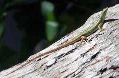 Photographs of skink (scinicdae) species Biomes, Green Trees, Fiji, Wildlife, Animals, Animais, Animales, Animaux, Animal