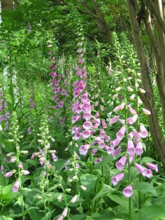 One of my favorite flowers....Foxglove ....wish they would bloom longer!