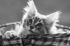 #Cats  #Cat  #Kittens  #Kitten  #Kitty  #Pets  #Pet  #Meow  #Moe  #CuteCats  #CuteCat #CuteKittens #CuteKitten #MeowMoe   #Animals, #Bw, #Cat, #Cats, #Cute, #Kitten, #Kittens, #MagicalMeow, #Nature, #Photography   Cute meow Myrtille by Patounes et Moustaches on 500px.com   http://www.meowmoe.com/13339/