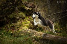Siberian Husky leaping in the woods.