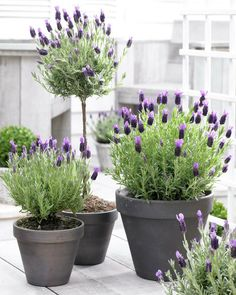 French Lavender Anouk is a   drought-tolerant variety that produces lovely, light and dark purple blooms. It   emits the wonderful lavender scent and is perfect for full-sun container   gardening.