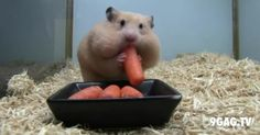 This Hamster Just Stuffed 5 Baby Carrots In His Mouth
