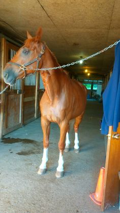 Junus The Magnificent! French Warmblood- Selle Francais
