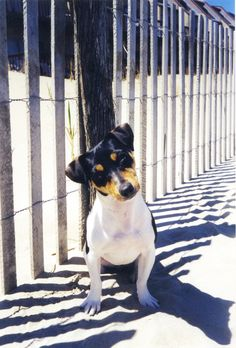 Jack Russell Terrier - Bailey