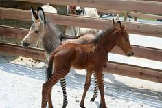 Zonkey And Zorse…    They both have stripes…but they're not the same…one is a Zonkey…and one is a Zorse…but what are they..?