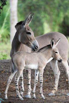 Critically endangered Somali wild ass (Equus africanus somaliensis). #animals #edangered