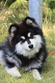 Okay, in the rare chance I were to get a dog someday, you know, when I'm ready for pet hair all over and I have absolutely nothing else to do, THIS breed is on my list of possibilities. Finnish Lapphund #Dog #Puppy