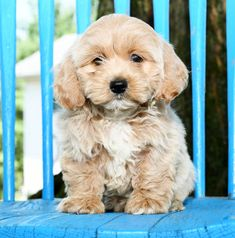 Lancaster Puppies makes it easy to find healthy puppies from reputable dog breeders across Pennsylvania, Ohio, and more. Cockapoo Puppies For Sale, Spaniel Puppies, Cute Puppies, Dogs And Puppies, Lancaster Puppies, Cavalier King Charles, Dog Care, Cats, Animals