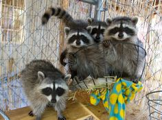 These five unrelated orphaned raccoons are being cared for by a volunteer of Native Animal Rescue until they are mature enough to be released back into the wild.