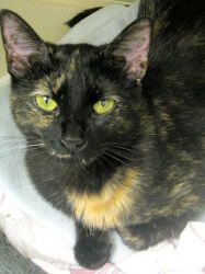 Spirit is an adoptable Tortoiseshell Cat in Saint Paul, MN. Curious and Charming as a Cat Should Be    Spirit – yes. I have spirit, quite a bit, and, also, I am a spirit. I may not be what I appear t...