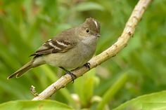 White-crested Elaenia (Elaenia albiceps) a flycatcher found in southern and western South America