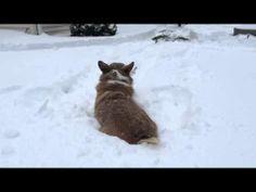 #Corgi Snow Dive!