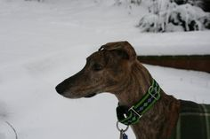 Cedric, a galgo rescued as a puppy (his mom gave birth on the plane to the US!) Just a sweet and wonderful dog.