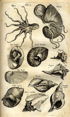 Jonston, Jan: Historiae Naturalis De Exanguibus Aquaticis Libri IV. - Frankfurt <Main>: Merian, 1650.