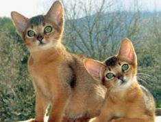 """<3...Abyssinian cat """"what was that?"""" - adorable!"""