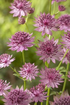 Blue Vervain tea is made from wild hyssop plant  This plant is