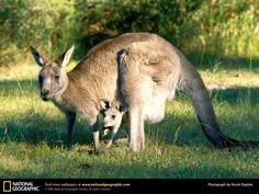 popular kangaroo wallpapers