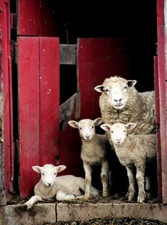 Country Living - Sheep Family