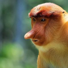 One of the most astounding primates (monkeys) found only on the island of Borneo is called the Proboscis Monkey.  Strangely they have been called by many other names including the Dutchman Monkey and Big Nose Monkey. They are also vegetarians who live off eating certain mangrove leaves and are commonly spotted along mangrove rivers in the mornings or evenings.  In this photo from Sabah Borneo I photographed a juvenile Proboscis with its large nose only being half the size so you can imagine…