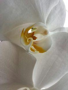 Mis Orquídeas Blancas