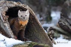 Photo by Jeff Wendorff. American Marten, Pine Marten, Otters, Mammals, Fisher, Wildlife, Animal, Cats, Nature