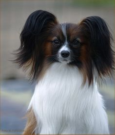 Papillon; I am going to break my rule for large dogs only with one of these!