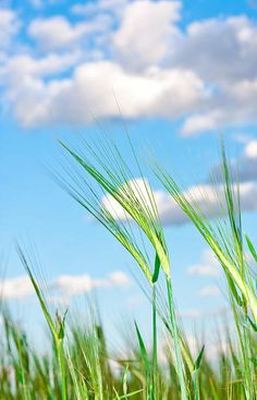 Lovely Image Of Young Barley Against An Idyllic Blue Sky Print By Tom Gowanlock