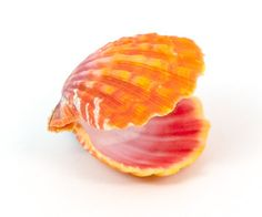 sunrise shell endemic to Hawaii