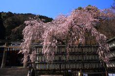 京都市山科区西野山桜ノ馬場町にある大石神社の桜。大石神社には大きな一本のしだれ桜があり、「大石桜」と呼ばれる。提燈や本殿をなどを背景とした非常に絵になる豪快な桜。大石桜は京都の中でも比較的早くに開花、満開をむかえる桜。2017年4月4日訪問、撮影。