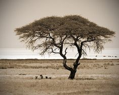 Savannah Tree with Lions SEPIA photo print 8x10 by oceloteyes, $20.00 https://www.etsy.com/au/listing/150238645/savannah-tree-with-lions-sepia-photo?ref=sr_gallery_12&ga_search_query=African+tree+print&ga_ship_to=AU&ga_search_type=all&ga_view_type=gallery