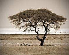 Savannah Tree with Lions