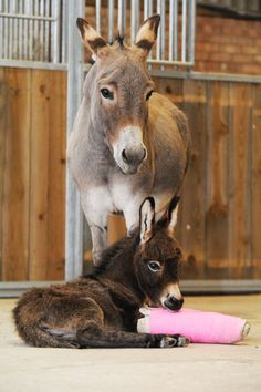 Baby Donkey With Two Pink Casts