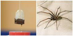 Så skrämmer du bort spindlarna för alltid – med en tepåse | Året Runt