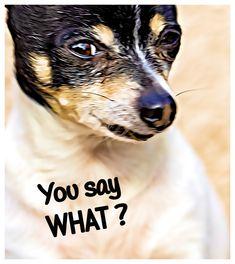 #dog #small dog #photograph #valokuva #valokuvaus #portrait #funny #hassu #pieni koira #hauska Photograph, Portrait, Funny, Animals, Ska, House, Photography, Animales, Headshot Photography