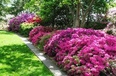 Azalea hedge Victoria B.C.