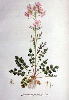 Cardamine pratensis, Cuckoo Flower/Lady's Smock
