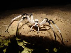 I won't be camping in the mid-east anytime soon.Giant Spider Species Discovered in Middle Eastern Sand Dunes (Cerbalus aravensis) Real Spiders, Spiders And Snakes, Scary Bugs, Cool Bugs, Big Scary, Huntsman Spider, Spider Species, Giant Spider, Spider Webs