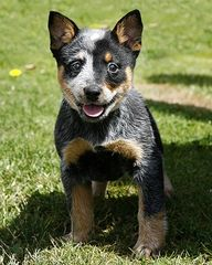This is such a cute cattle dog !