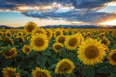 Sunflower fields, Deer Park, WA near Spokane... may need to make a stop here.   (James Richman Photography)