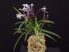 Neofinetia falcata 'Tosa Shinku' presented by Orchids Limited Pictures For Sale, Orchidaceae, Golden Star, Plant Pictures, Pink Purple, Orchids, Leaves, Flowers, Plants