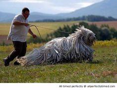 A traditinal Hungarian guard dog