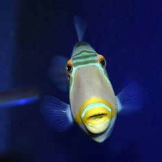 Trigger Fish.. So Beautiful