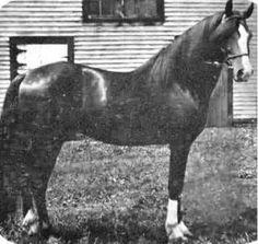 Welcome, uno de primeros sementales tipo Lippitt que contribuyó a la raza American Morgan Horse