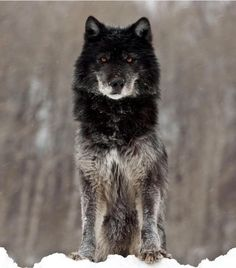 Name: Night. NOT in the pack. He is Blues ex-mate. He is a stone cold killer. Powers of Lightning and Thunder. He is a big flirt and a challenging wolf. He is fast on his feet. He got his and Blues pups killed when his old pack attacked them. He ran off and left Blue to suffer.