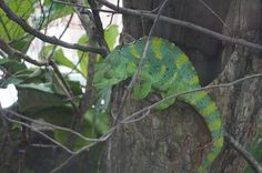 """This week's #ZAFanFriday theme was """"Lizard Love!"""" We love this look at the Meller's chameleon, courtesy of Katie Kimball on Facebook."""