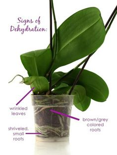 signs of orchid dehydration. Watering is one of the most important aspects to keeping your orchid plant flourishing and in bloom for months. Orchid care has never been easier! For watering, Just Add Ice® Orchids, you just add 3 ice cubes once a week Indoor Orchids, Orchids Garden, Orchid Plants, Garden Plants, House Plants, Orchid Flowers, Cactus Flower, Exotic Flowers, Flowers Garden