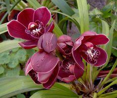 Orquídea-Cymbidium-bordeaux.jpg (960×808)